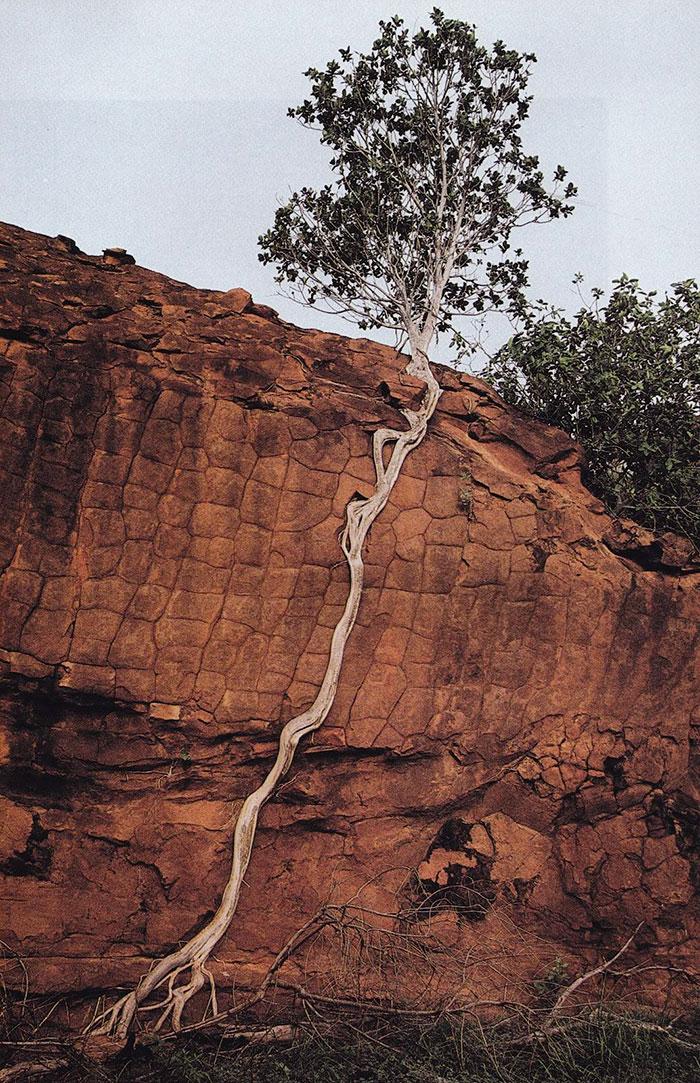 20 Árvores Que Passaram Por Cima De Tudo Para Se Manterem Vivas 19