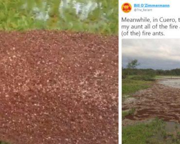 Formigas Salvam-se Das Inundações Do Furacão Harvey De Forma Peculiar 2