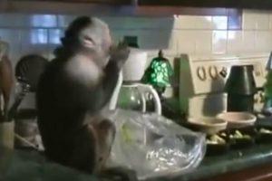 Macaco Surpreendido Pela Dona a Roubar Uvas Na Bancada Da Cozinha 8