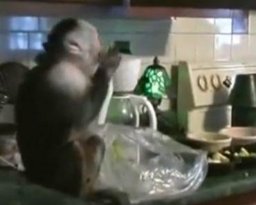 Macaco Surpreendido Pela Dona a Roubar Uvas Na Bancada Da Cozinha 5