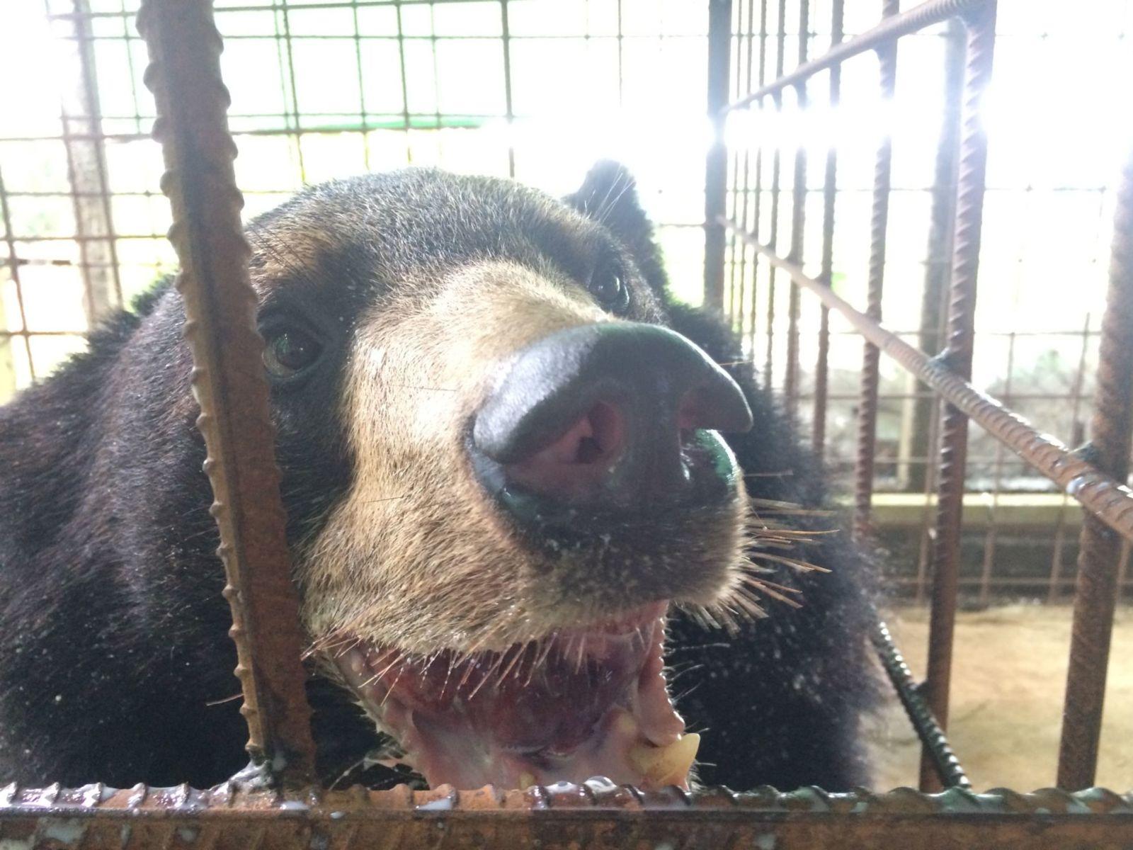 Veterinários Juntam-se Para Ajudar Urso Com Monstruosa Língua De 3 Quilos 2