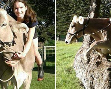 Jovem Aprende a Montar Vacas Depois Dos Seus Pais Se Recusarem a Oferecer-lhe Um Cavalo 5