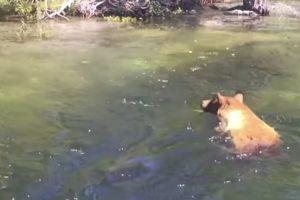 Urso Arrastado Pela Corrente Quando Tentava Apanhar Salmão 10