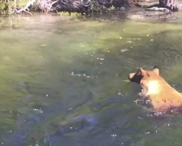 Urso Arrastado Pela Corrente Quando Tentava Apanhar Salmão 1
