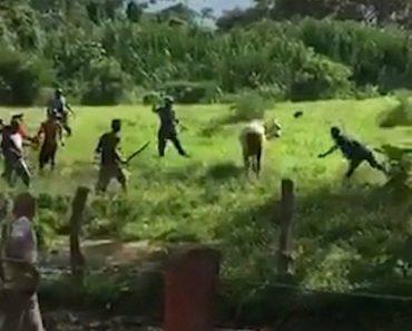 Venezuelanos Tentam Matar Vaca à Pedrada Para Matar a Fome 4
