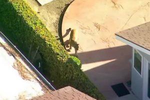Leão-Da-Montanha Filmado a Andar Em Pacato Bairro Na Califórnia 10