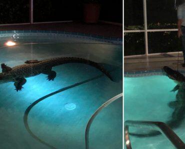 Jacaré De 3 Metros Apanhado A Nadar Em Piscina Privada Após Derrubar Porta 9