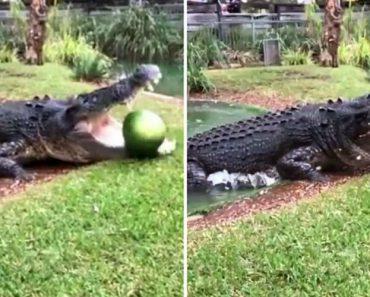 Melancia Fica Completamente Desfeita Com Uma Única Dentada De Um Crocodilo 4