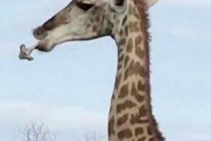 Girafa Intriga Visitantes De Safari Ao Ser Vista a Mastigar Um Osso 9