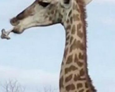 Girafa Intriga Visitantes De Safari Ao Ser Vista a Mastigar Um Osso 5