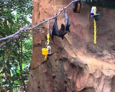 Sabe Como Os Morcegos Defecam? Este Morcego Mostrou Aos Visitantes De Um Parque Como Se Faz 5