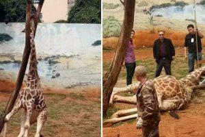 Girafa Morre Acidentalmente Após Ficar Com Pescoço Preso Em Árvore 10