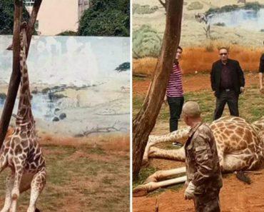 Girafa Morre Acidentalmente Após Ficar Com Pescoço Preso Em Árvore 6