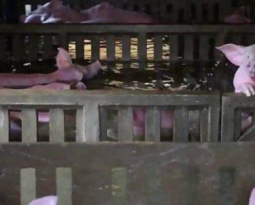 Pelo Menos Mil Porcos Morreram Afogados Depois De Rio Invadir Quinta 5