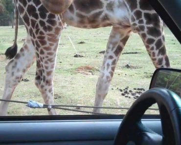 Girafa Ataca Carro Com Turistas Em Parque Natural 9