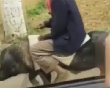 Agricultor Chinês Faz-se à Estrada Usando Porco Como Meio De Transporte 8