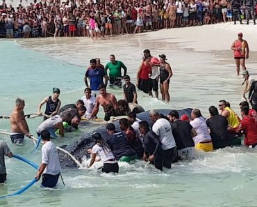 Fantástico Momento Em Que Todos Comemoram Com Gritos De Alegria o Resgate Bem-Sucedido De Baleia 9