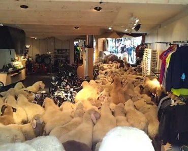 Ovelhas Vão Às Compras Na Austria 8