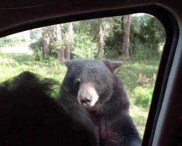 Turistas Têm Ataque De Pânico Quando Urso Abre a Porta Do Carro 5