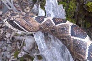 Homem Cria Espetacular Bengala Em Forma De Cobra a Partir De Um Pedaço De Madeira 10