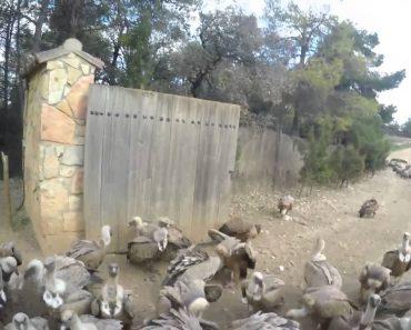 A Difícil Tarefa De Alimentar Dezenas De Abutres Selvagens 2