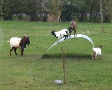Cabras Malucas: Nunca Tinha Visto Uma Cabra Assim! 7
