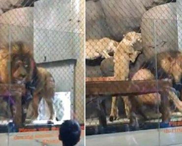 Leão Perde A Ponta Da Cauda Depois De Ficar Presa Em Porta Hidráulica De Jardim Zoológico 2