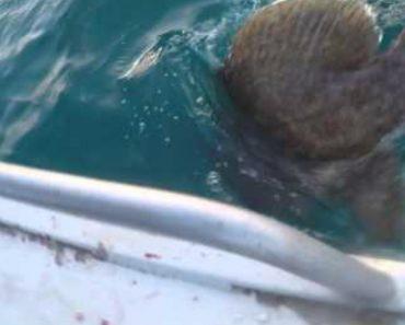 Garoupa Gigante Tenta Roubar Peixe a Pescador 6