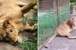 """Zoológico Filipino Negligencia Leoa Cega Por Considerá-la Um """"Erro De Reprodução"""" 10"""