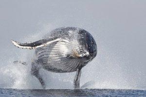 Baleia De 40 Toneladas Salta e Sai Totalmente Da Água 10
