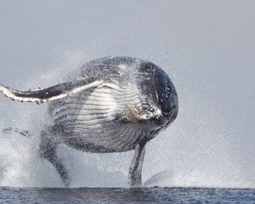 Baleia De 40 Toneladas Salta e Sai Totalmente Da Água 6