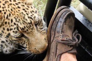 Turista Consegue Manter a Calma Enquanto Leopardo Morde o Seu Sapato e Arranha a Sua Perna 13