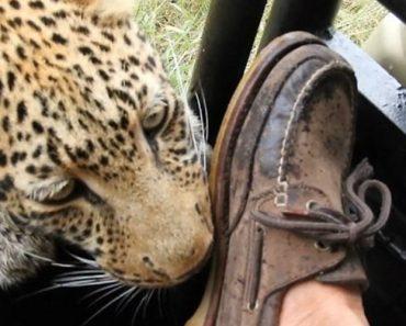 Turista Consegue Manter a Calma Enquanto Leopardo Morde o Seu Sapato e Arranha a Sua Perna 1