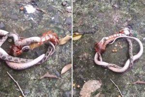 Cobra e Centopeia Envolvem-se Em Confronto Mortal 8
