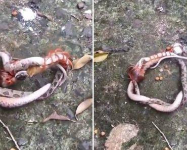 Cobra e Centopeia Envolvem-se Em Confronto Mortal 9