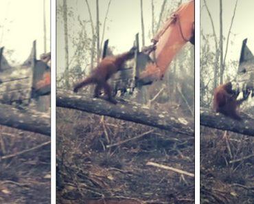 Orangotango 'Enfrenta' Retroescavadora Ao Ver a Sua Floresta a Ser Destruída 1