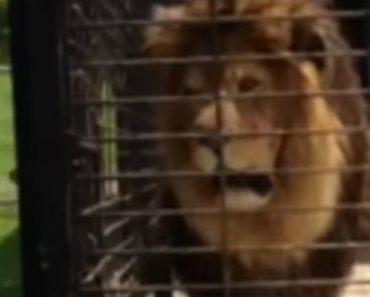 Visitante De Jardim Zoológico Tem Surpresa Indesejada Ao Filmar Leão De Perto 1