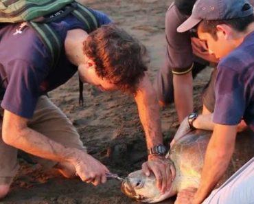 Biólogos Salvam Tartaruga Ao Retirar Garfo De Plástico Do Seu Nariz 2