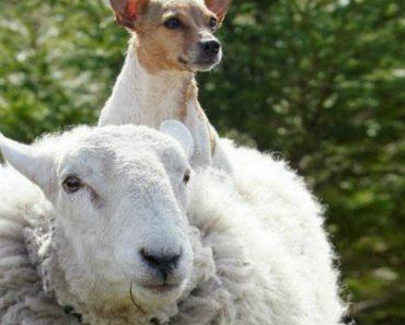 O Que Acontece a Uma Ovelha Que Cresce Ao Lado De Cães 1