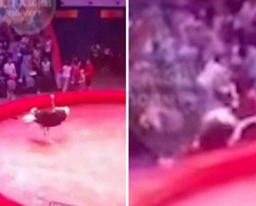 Avestruz Ataca Espectadores Durante Atuação De Circo 1