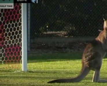 Jogo De Futebol Interrompido Por Teimoso Canguru Que Se Recusa a Sair De Campo 2