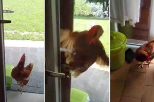 Galinha Demonstra a Sua Inteligência Ao Abrir Porta De Casa Para Conseguir Entrar 9