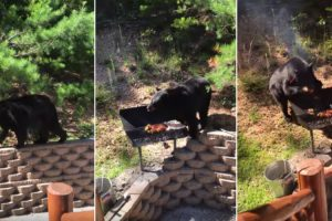 Família Empenhada Em Impedir Urso De Assaltar o Churrasco 8