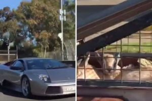 Homem Usa Lamborghini Para Transportar Cabras Em Atrelado 9