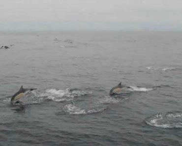 Milhares De Golfinhos Surpreendem Investigadores Na Galiza 7