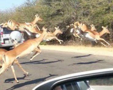 Impala Escapa a Duas Chitas Famintas Ao Saltar Pelo Vidro Para o Interior De Carro De Turistas 5