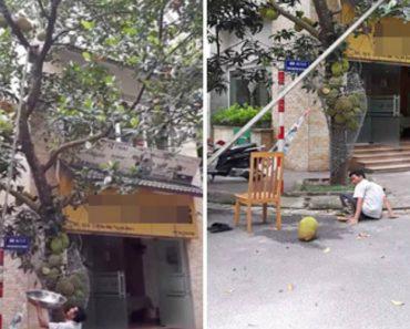 Trabalhador Erra Nos Cálculos e Sofre Verdadeira Dor De Cabeça Quando Pesado Fruto Cai Da Árvore 4