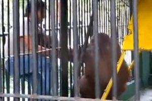 Orangotango Sente-se Despido e Rouba T-Shirt a Visitante Do Zoo 10