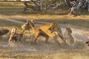 """Leoa """"Deixa-se"""" Morder Por Cães Selvagens Para Que a Sua Cria Possa Fugir 8"""