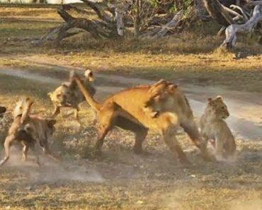 """Leoa """"Deixa-se"""" Morder Por Cães Selvagens Para Que a Sua Cria Possa Fugir 9"""